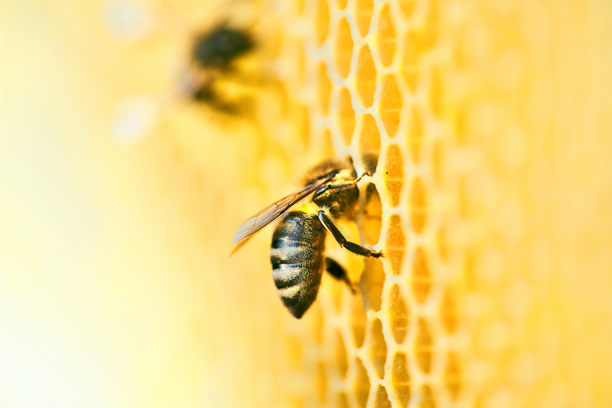 macro,photo,of,a,bee,hive,on,a,honeycomb,with